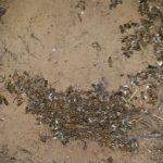 דבורים מתות