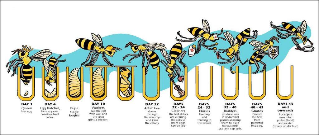 bee schedule