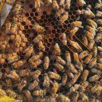 מלכת הדבורים