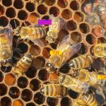 השוואה דבורה זכר מול פועלת