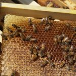 חלת דבש לפני רדייה