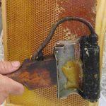 פותח חלות דבש