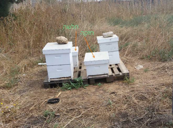 איחוד רשויות - חיבור שתי כוורות דבורים