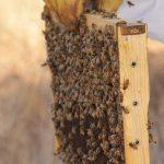 גידול דבורים : קרדיט, פנחס בר-חי