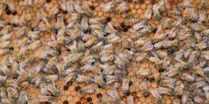 צילם פנחס בר-חי, כוורת דבורים