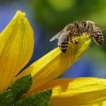 זוג דבורות על פרח צהוב
