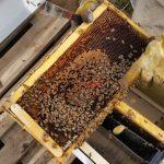 חלת דבורים