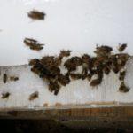 דבורים מתות בפתח הכוורת