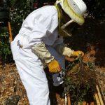 לכידת נחיל דבורים - מהבית, מהחצר, בשטח שלך