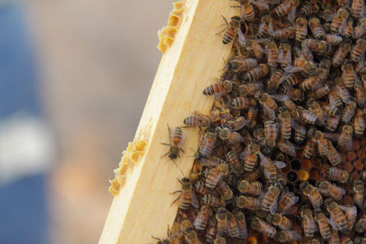 Bees - דבורים