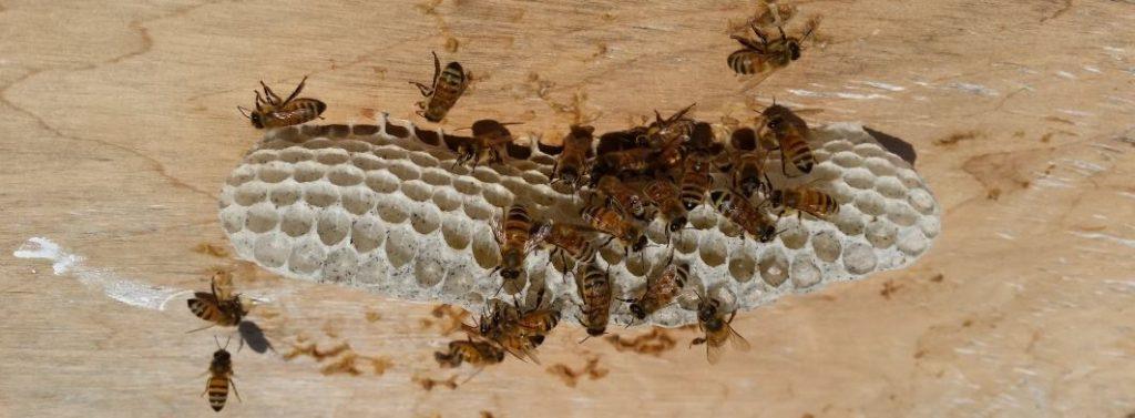 חלת דבש פראית