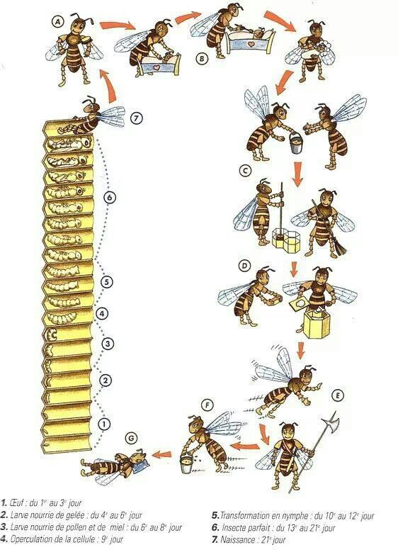 bee lifecycle