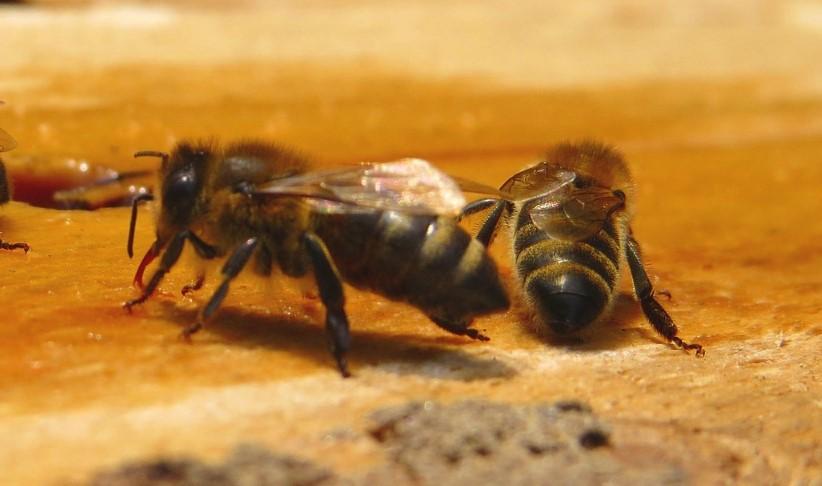 למה עקיצת דבורה מגרדת