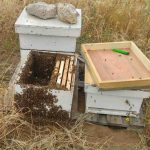פינוי נחיל דבורים, איסוף נחיל דבורים