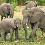 פיל מפחד מדבורה