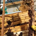 נחיל דבורים קטנטן