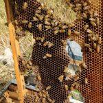 נחיל דבורים
