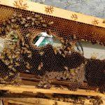 נחיל דבורים קטן במצוקה