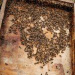 משפחת דבורים
