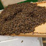 משפחה שלמה של דבורים