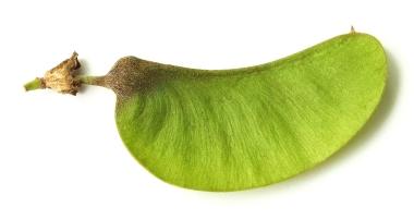 פרי עץ מכנף נאה