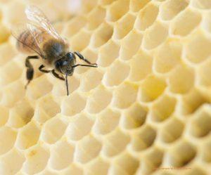 דבורה על חלת דבש
