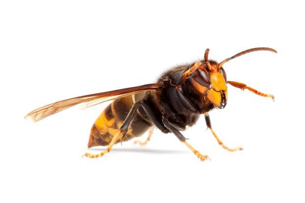 GIANT Asian hornets