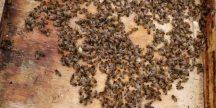 מאכילה עליונה לדבורים